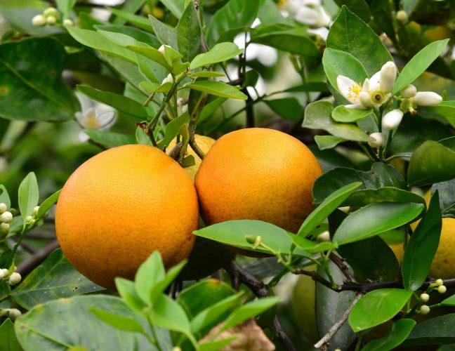 Citrus-Valencia-e1529312014330.jpg
